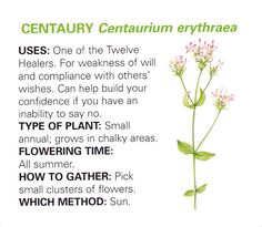Centaury  healing and uses