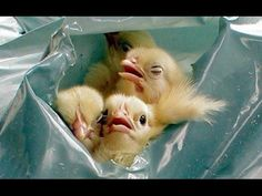 Male baby chicks treatment for EGG industry - Animal Equality