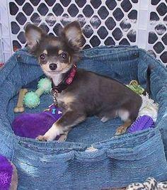 Tai Chi, a blue long-coat Chihuahua