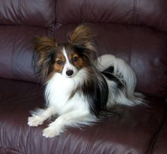 This puppy looks like Coco! Papillon - gorgeous! The butterfly dog.