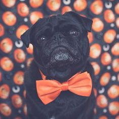 This week's pug photo challenge is all about Halloween. So let's see your best Halloween photos tagged #tpdpugoween2016 #thepugdiary