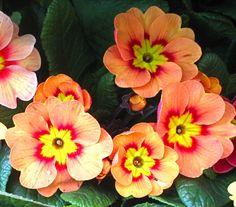 polyanthus-2.jpg (1979×1739)