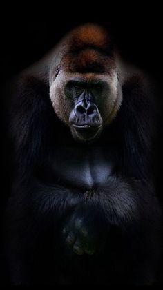 Close Up Kings of Nature Poster Gorilla Primates, Nature Animals, Animals And Pets, Cute Animals, Tier Zoo, Regard Animal, Gorillas In The Mist, Gorilla Tattoo, Silverback Gorilla