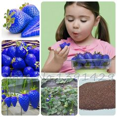 300 개 달콤한 블루 딸기 씨앗 과일 야채 씨앗 식용 영양 식물 씨앗 달콤한 & 육즙 실내 발코니 플란 테
