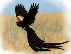 Long-tailed Widowbird by WillemSvdMerwe on DeviantArt