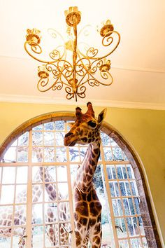 giraffe-manor-tanveer-badAL-7.jpg