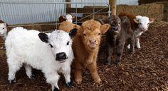 Miniature cows, too cute. - Miniature cows, too cute. Cute Baby Cow, Baby Cows, Cute Cows, Cute Baby Animals, Animals And Pets, Funny Animals, Miniture Animals, Strange Animals, Fluffy Cows