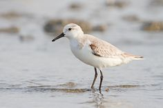 The sanderling (Calidris alba) is a small wading bird. It is a circumpolar Arctic breeder, and is a long-distance migrant, wintering south to South America, South Europe, Africa, and Australia. It is highly gregarious in winter, sometimes forming large flocks on coastal mudflats or sandy beaches. It is somewhat unlike other sandpipers in appearance, which has led to the suggestion that it should be placed into a monotypic genus Crocethia. A more recent review (Thomas et al., 2004) indicates…