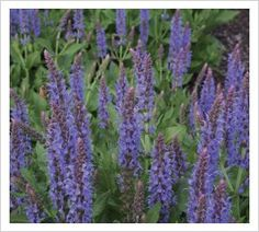 Salvia nemorosa 'Blauhugel Blue Hills'    Softer and more nearly true blue than other Salvia nemorosa types this is a wonderful addition to the group. Gentle mauve-blue flower spikes are produced on a tidy low growing plant from spring until winter. Like all the nemorosas we cut this to the ground during winter and also when the first flush of flowers starts to look tired in midsummer. Salvia 'Blauhugel' flowers for more than 20 weeks in our dry climate garden. 35cm x 35cm.