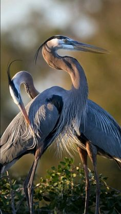 Mr and Mrs Great Blue Heron by Betty Wiley (cropped)