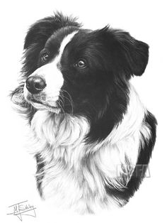 border collie drawing pet art pinterest baby dogs collie and dog