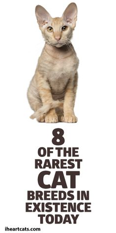 8 Of The Rarest Cat Breeds In Existence Today. Common Cat Breeds, Rare Cat Breeds, Crazy Cat Lady, Crazy Cats, Cute Cats, Funny Cats, Singapura Cat, American Shorthair, Cat People