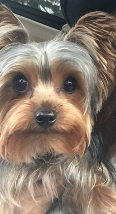 Yorkshire Terrier is one of the most popular dog breeds in the world, and despite their small size, Yorkies have Yorkies, Yorkie Puppy, Chihuahua, Havanese Dogs, Yorshire Terrier, Silky Terrier, Cairn Terriers, Scottish Terriers, Boston Terriers