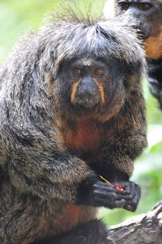 Scientists uncover five new species of 'toupee' monkeys in the Amazon Read more at http://news.mongabay.com/2014/0902-hance-saki-monkeys-new.html#GMqQVxMPC3ZXZYY0.99