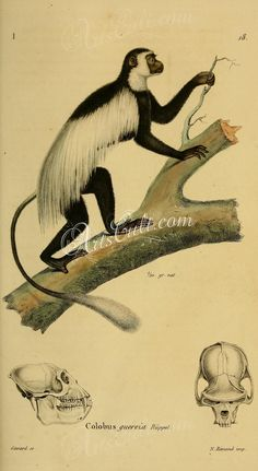 Mantled Colobus or Mantled Guereza or Ruppell's Guereza or Eastern Black and White Colobus or Guereza or Magistrate Colobus or Magistrate black Colobus      ...