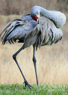 Beautiful Preening Sandhill Crane Photograph by Carol Groenen