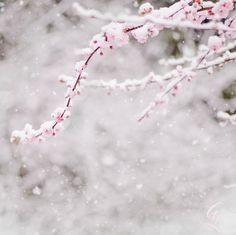 pink blossoms and soft snow. love.