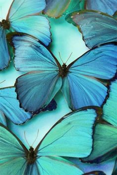 'Shades of Tiffany Blue, Teal, Aqua and Turquoise' board Morpho Bleu, Morpho Butterfly, Green Butterfly, Blue Butterfly Meaning, Purple Butterfly Wallpaper, All Nature, Tier Fotos, Jolie Photo, Fauna