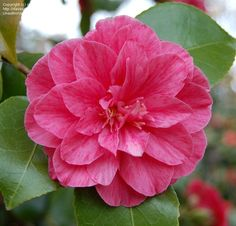 Camellia Japonica japonica prince eugene napoleon | Camellia japonica 'Prince Eugene Napoleon' (Belgium, 1859)