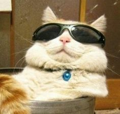 cats with glasses cats with glasses cats with glasses Cute Animal Memes, Cute Memes, Funny Animal Pictures, Cute Funny Animals, Cute Baby Animals, Funny Cats, Meme Chat, Gatos Cool, Cat Icon