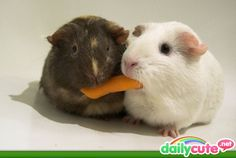 Sharing is good, even for cute guineas!
