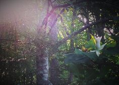 Bigleaf magnolia in bloom at Red River Outdoors. www.redriveroutdoors.com