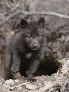 Five-Week-Old Gray Wolf Pup, Canis Lupus, Ventures Out of It's Den Photographic Print by Jim And Jamie Dutcher at Art.com