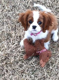 Cavalier King Charles Spaniel – Graceful and Affectionate Shiba Inu, Cavalier King Charles Spaniel, King Charles Puppy, Cute Puppies, Cute Dogs, Game Mode, Baby Animals, Cute Animals, Golden Retriever