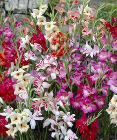 Take a look at this Dwarf Hardy Gladiolus Blub - Set of 60 by Cottage Farms Direct on #zulily today!