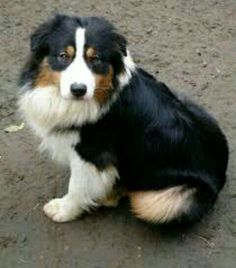 Australian Shepherd ~ Classic Look Australian Shepherd Husky, Australian Shepherds, Aussie Shepherd, Beautiful Dogs, Animals Beautiful, Cute Animals, Aussie Puppies, Dogs And Puppies, Doggies