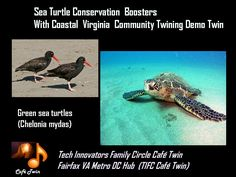 Sea Turtle Conservation. Of the 7 species of sea turtle, 5 have been seen at Chesapeake Bay & Coastal Virgnia.