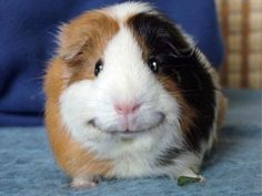 I love Guinea Pigs! Look at that smile! how could anybody not like this down to earth celebrity?