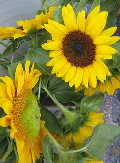 Sunflowers Perfect for Fall weddings! Sunflowers Perfect for Fall weddings! Yellow Wedding, Farm Wedding, Wedding Stuff, Wedding Ideas, September Flowers, Sunflower Bouquets, Growing Gardens, Fall Arrangements, When I Get Married