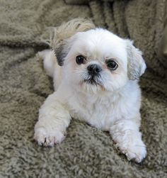 Suzi Shih Tzu by Maryann R., via Flickr