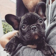 Roger, French Bulldog Puppy, @roger.the.frenchie