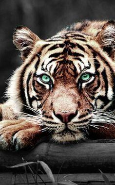 Un tigre juste magnifique
