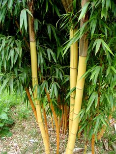 Phyllostachys vivax 'Aureocaulis' - running timber bamboo.  40 ft tall.  3-5 inch diameter.  yellow cums with random green stripes.  Hardy to -5F