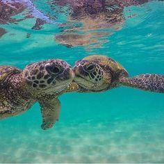 Underwater photography of Hawaiian sea turtles, or honu via Get more photo Baby Sea Turtles, Cute Turtles, Sweet Turtles, Beautiful Ocean, Animals Beautiful, Underwater Photography, Animal Photography, Sea Turtle Pictures, Hawaiian Sea Turtle