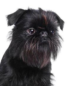Griffon Bruxellois Dog Breed