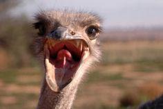 South Africa :) Volstruis