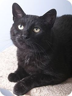 Chicago, IL - Domestic Shorthair. Meet Becker, a cat for adoption. http://www.adoptapet.com/pet/17979649-chicago-illinois-cat