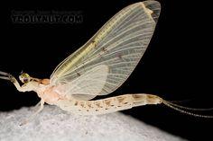 Female Ephemera varia (Yellow Drake) Mayfly Dun from Aquarium in New York