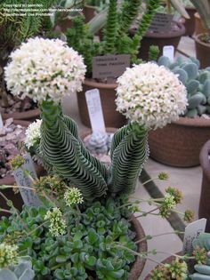 Crassula 'Buddha's Temple'Crassula