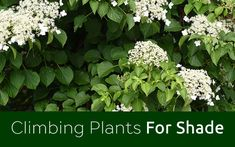 TV Gardener David Domoney chooses the best climbers for shade. Cover a shady wall or fence with these hardy climbing plants.