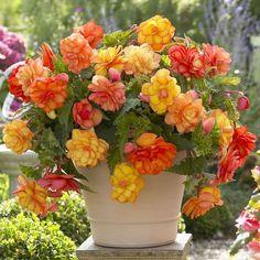 Hanging begonias make perfect container gardens.