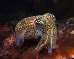 Southern Dumpling Squid at Rest. Amanda Franklin.