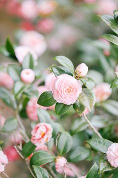 Pink Camellia's Blooming in Charleston's Hampton Park // Rhyme & Reason