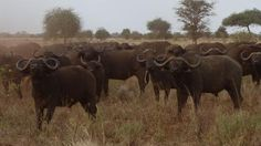 A huge herd of buffalo at Meru National Park. Picture: Angela Saurine  http://www.news.com.au/travel/world/african-safari-tour-in-born-free-camps-in-meru-and-shaba-kenya/story-e6frfqai-1226690348349