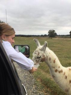 Gabby feeding a Lama