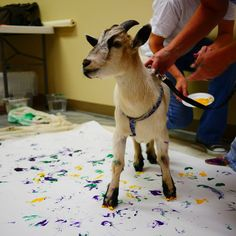 #goatvet thinks this would be a fun activity and fundraiser for a goat club - but take note about goats getting covered in paint.